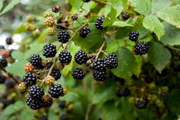 blackberries_2677